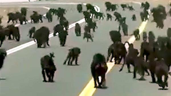 قرود تهاجم جامعة في السعودية